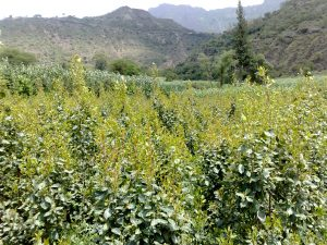 مزرعة قات في اليمن