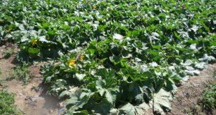 مزارع في صنعاء تروى بمياه الصرف الصحي