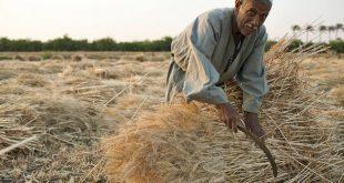 مزارع القمح
