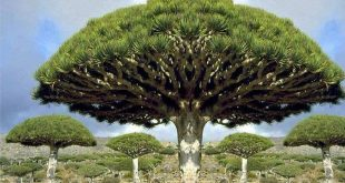 سقطرى Socotra is a Yemeni island